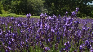 Wanneer lavendel oogsten?
