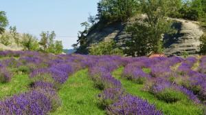 Onze lavendel