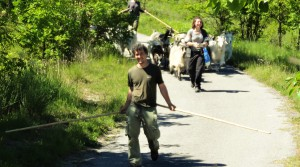 Onze nieuwe gasten: de cashmere geiten