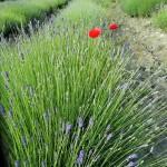 lavendel italie