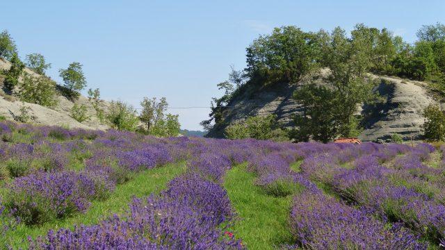 De lavendel is weer geoogst
