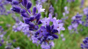 Ons nieuwe hulpje op het lavendelveld