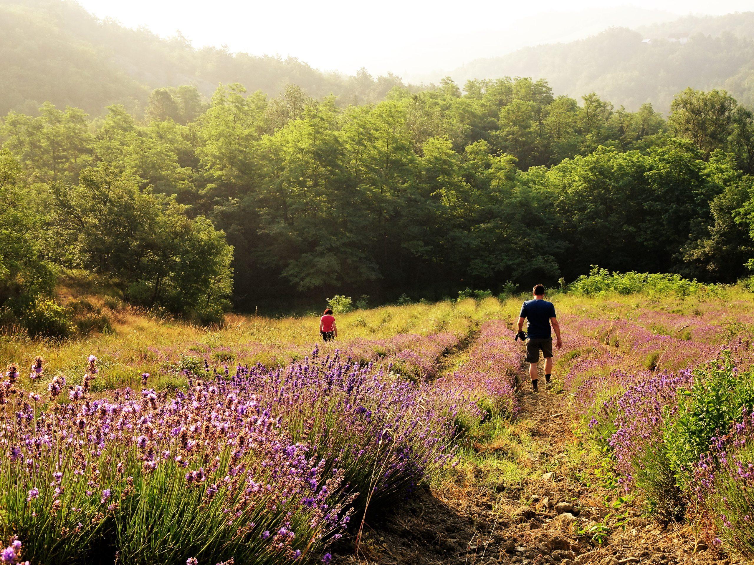 lavender fields agriturismo verdita