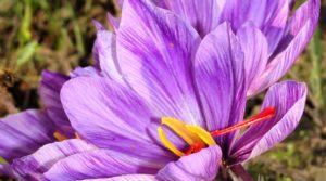 The saffron harvest