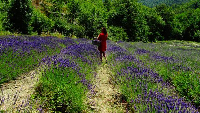 Piemonte, the Italian lavender region ?