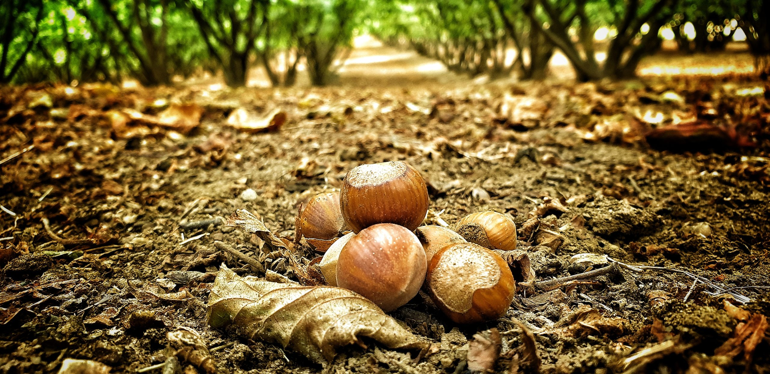 hazelnut farm